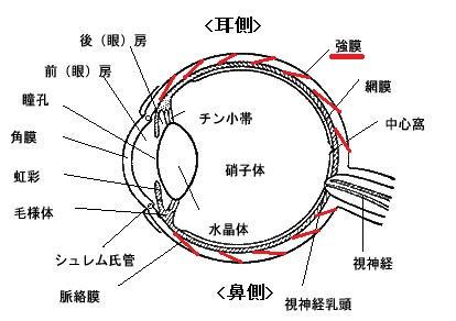 眼球 断面図